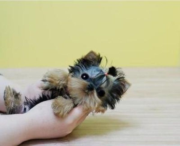 cheap yorkie puppies micro teacup puppies for sale cheap zoe fans blog cute 7364