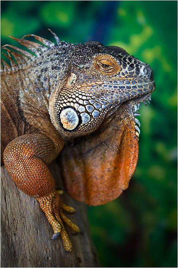 ✯ Iguana