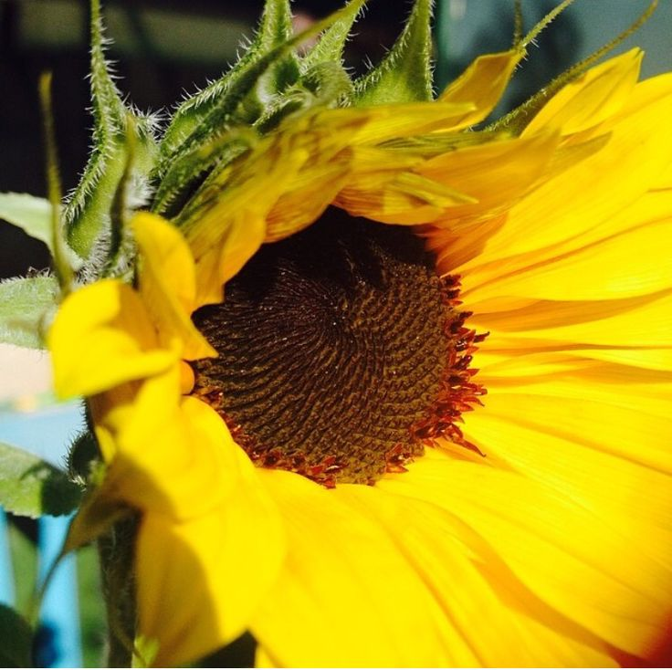 Kindergarten grown sunflower. No filter.