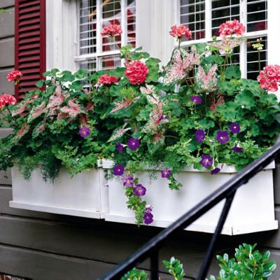 One simple rule to make windowboxes like these more interesting: Plant a thriller (something tall, such as a blooming geranium), a filler (something to add fullness, such as colorful caladium), and a spiller (something to trail over the sides, such as purple petunias).    What's planted: salmon pink geranium, 'Pink Beauty' caladium, and purple petunias