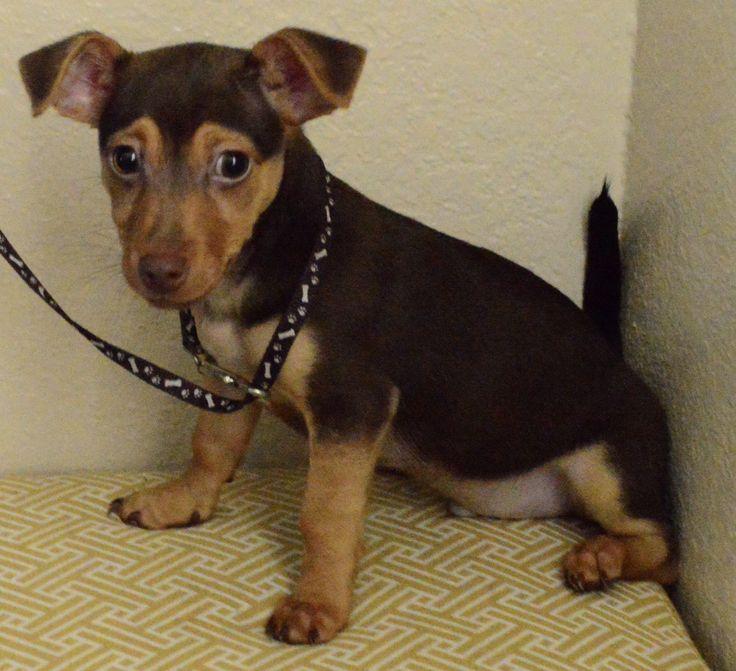 Chiweenie dog for adoption in palo alto ca adn468529 on
