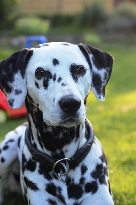cute dog dalmatian dalmatiner