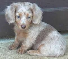 Image result for dachshund mix for sale