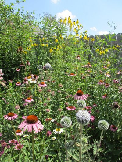 6 Plants that beat Butterfly Bush for the Wildlife Draw