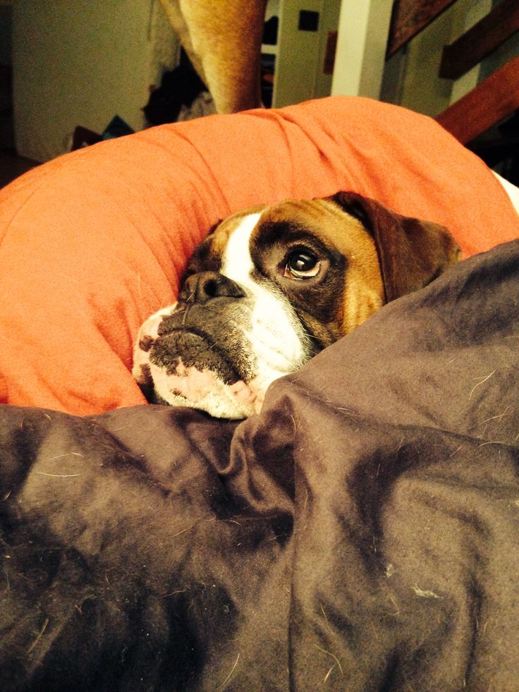 Silly boxer all snuggled up in bed...must be a rainy day!