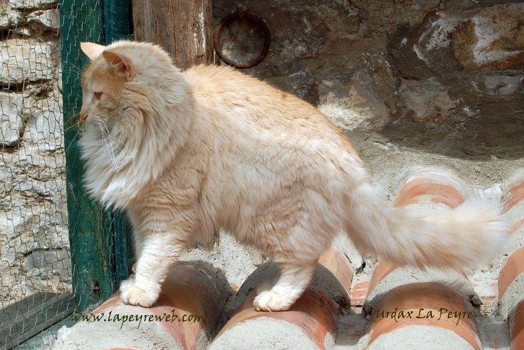 Revista Gatos e Cia: Raça: Norueguês da Floresta