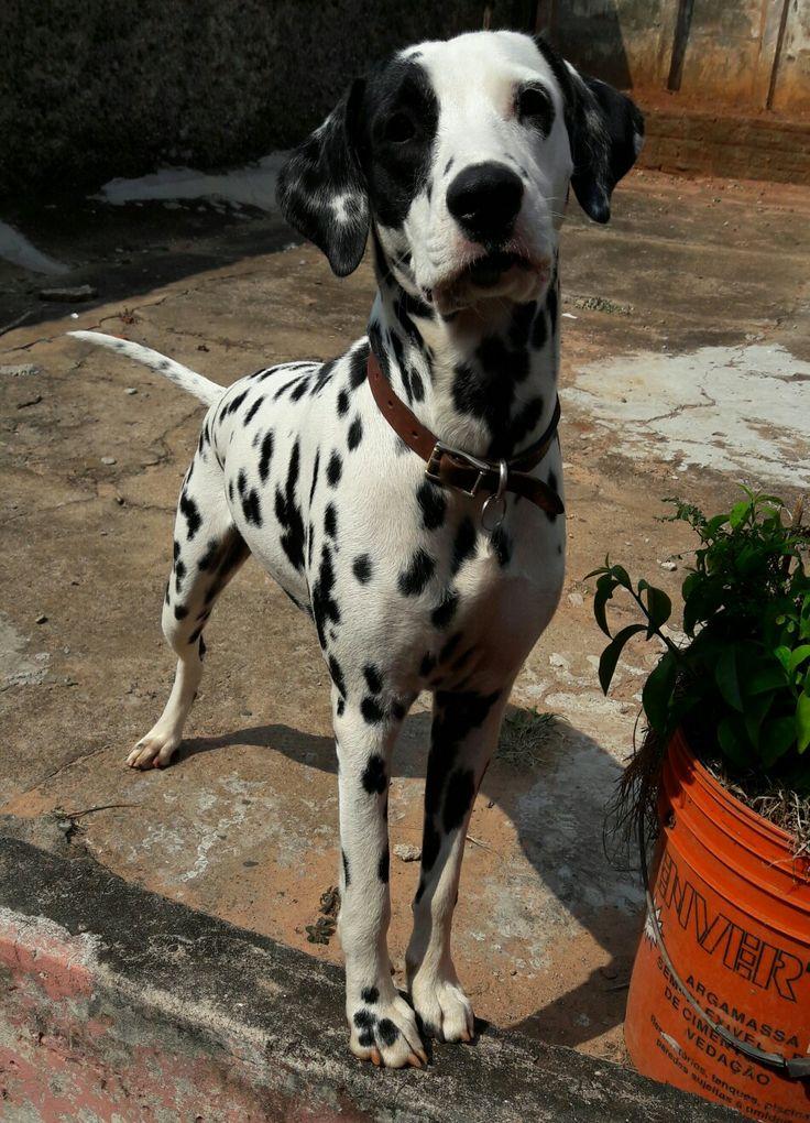 Passando para aqui para exibir minha beleza para vocês 😘😘😘  #dalmatian #doglover #dogstyle #dalmata #dog #pet