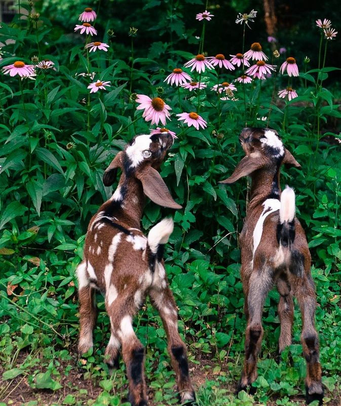 ABOUT MINI NUBIANS Mini Nubians are a perfect blend of the larger Nubian dairy goat, known for high milk production and the much smaller Nigerian Dwarf that produces milk with high butterfat...