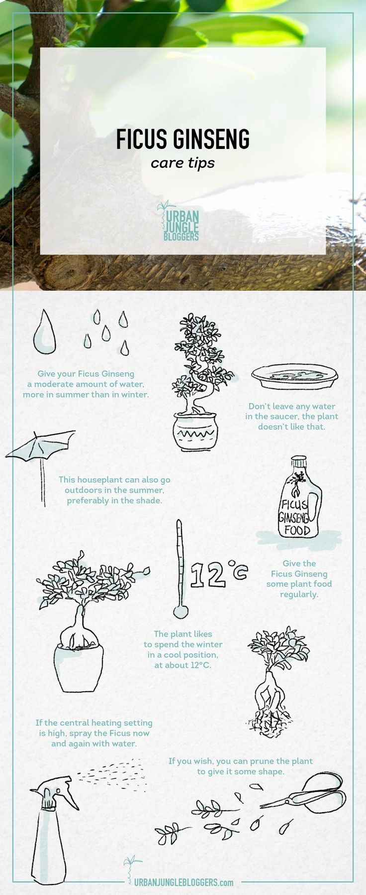 Ficus Ginseng care tips by Urban Jungle Bloggers