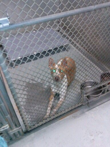 Urgent Please save Roxie She is one of the sweetest dogs I have had the honor to meet. It is obvious she has been abused! She is very scared  but a love bug  Oak Ridge Animal Shelter  Oak Ridge TN  ID # 14757  stray will not be held long  Yes this is a kill shelter  865-425-3423