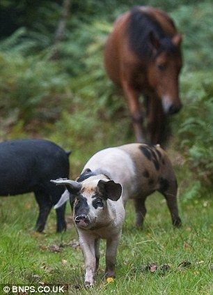Wildlife Walks in the New Forest. The Pannage season when Commoners put their pigs out to 'mast' eating acorns that are poison to the ponies