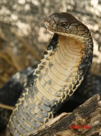 King Cobra - Königskobra (Ophiophagus hannah)
