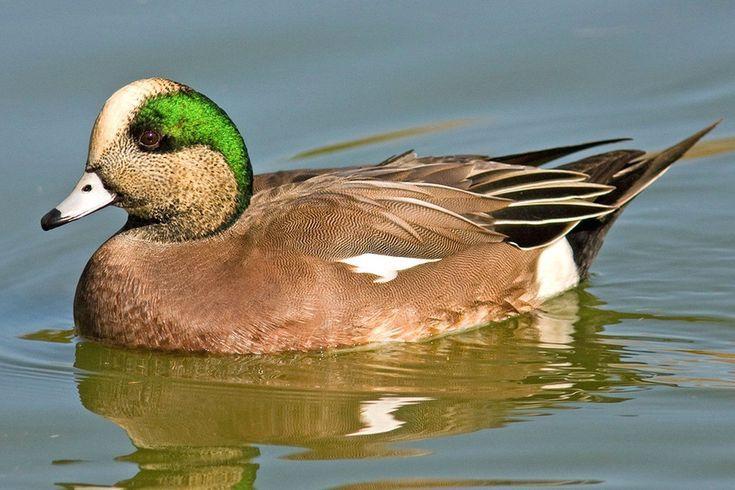 Duck Species Photo Gallery