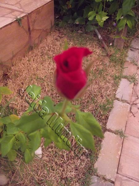 Rosa vermelha 28/02/2013