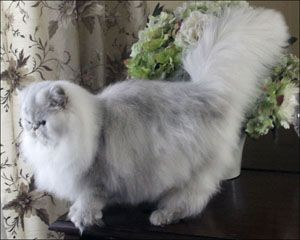 Shaded Silver Persian kitten for sale