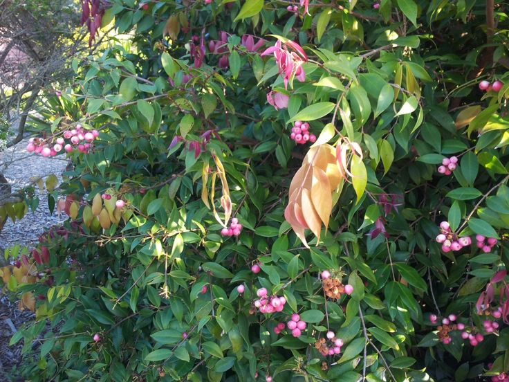 7 best landscaping screening plants images on pinterest hedges