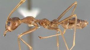 """Bilim adamları karıncaların düşmanlarını unutmadığını, hatta bu bilgiyi koloninin diğer üyelerine aktararak """"ortak belleklerine"""" kazıdığını söylüyor."""