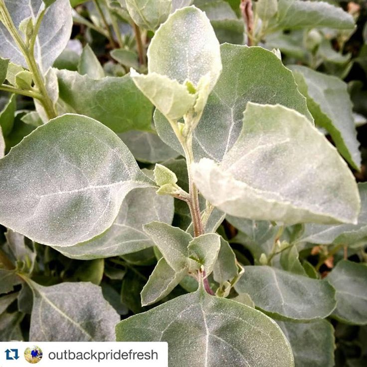 Photo: Saltbush growing at Outback Pride Farm at Reedy Creek. A favourite salad leaf which is full of nutrients. #saltbush grown with love at #reedycreek #outbackpridefresh