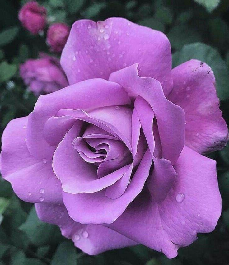 фото сирийской сиреневые розы цветущей морской осы своему