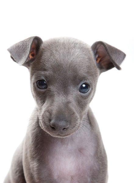 I want an Italian Greyhound!!!!!❤