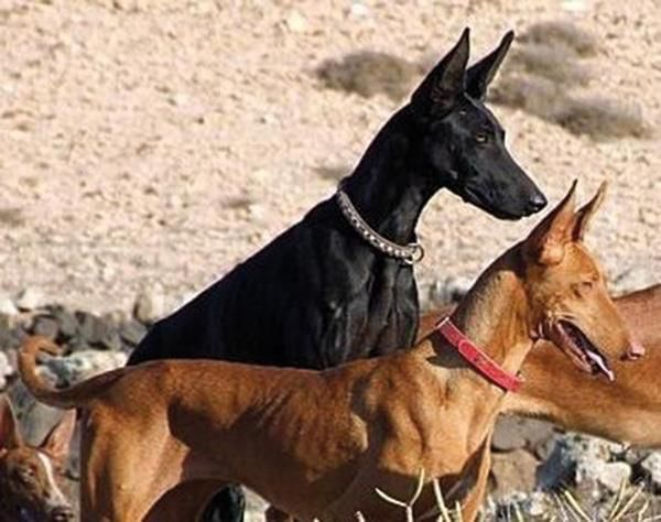 Black pharaoh hound- Anubis or Podenco (?)
