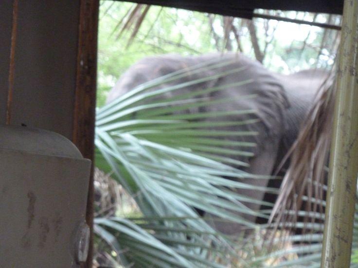 Camp Okavango surprised us with a wild elephant. Photo shows the elephant hanging around our tent. Botswana101.com #elephantScarredUsSilly