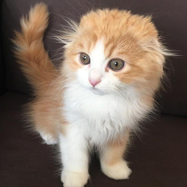 * #スコティッシュ折れ耳 #猫 #愛猫 #愛猫家 #スコティッシュフォールド #生後3ヶ月 #オス #instahappy #instagood #cat #cute #love #family #followme