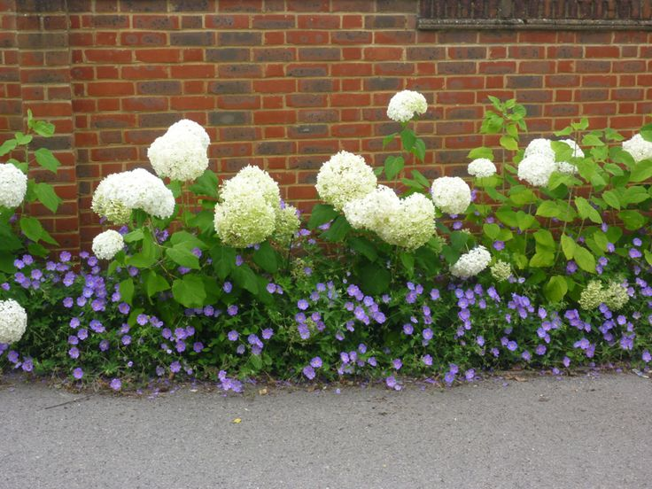 Seen at one of my wholesale nurseries - Hydrangea Annabel underplanted with blue Geranium