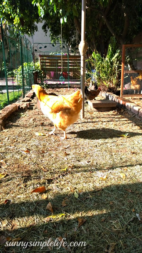 Best Backyard Chickens: Facts about Chickens, Best ...