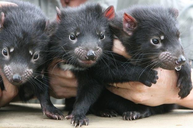 A trio of baby Tasmanian devils