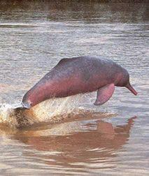 delfín rosado amazónico