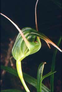 Pterostylis cardiostigma .