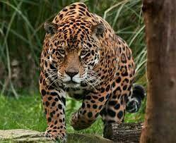 Considerado o maior felino das Américas, esse animal ocorre em quase todos os biomas, com exceção do Pampa. A onça é caçada por fazendeiros para proteger seus rebanhos, além disso, sofre com a destruição do seu habitat e sua pele tem grande valor no mercado mundial.(Espécie vulnerável)