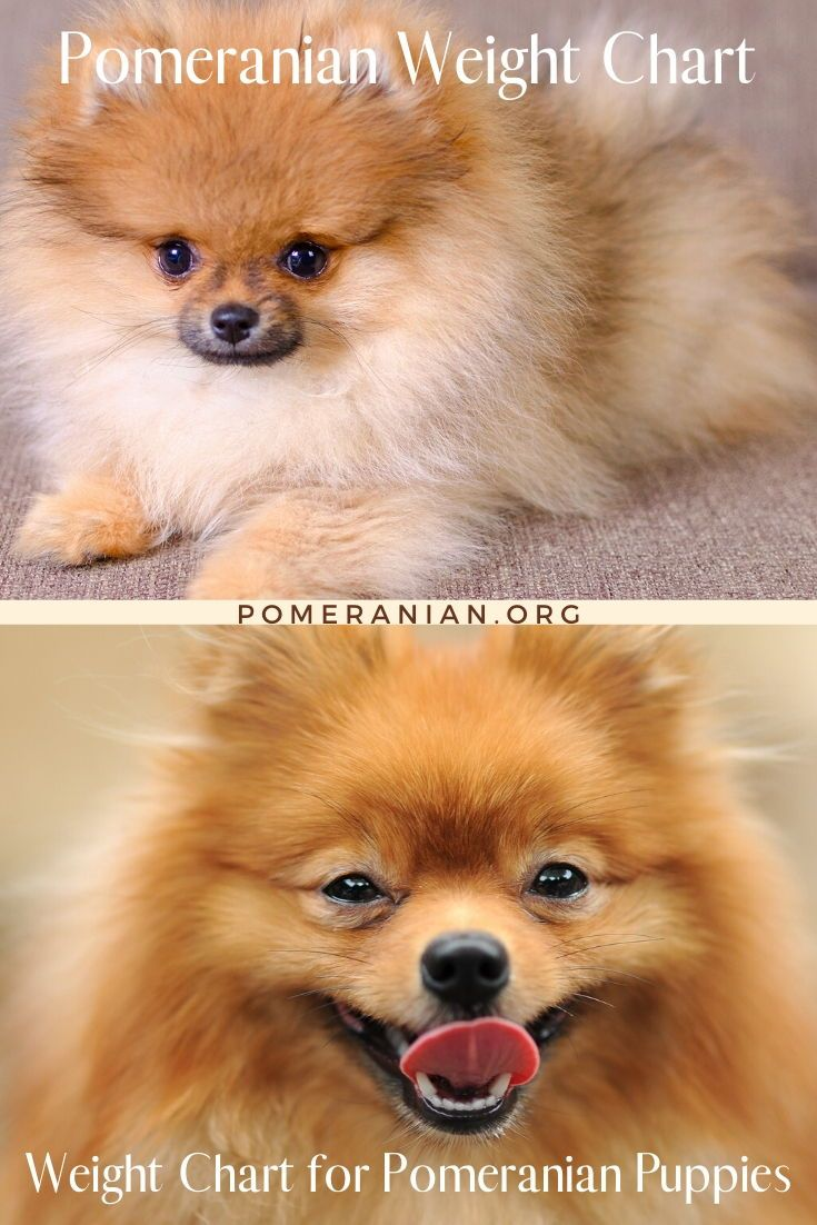 Pomeranian Weight Chart In 2020 Puppy