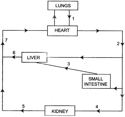 ICSE Solutions for Class 10 Biology - The Circulatory ...