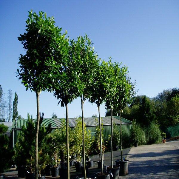 Prunus Laurocerasus Standard Tree Laurel Garden Screening Pinterest Shrubs And Evergreen