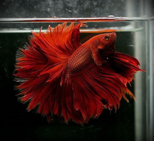 321 best images about betta on pinterest copper auction