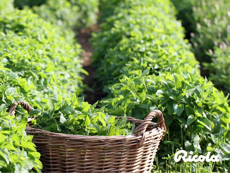 #Herbs #Harvest #Field #Ricola