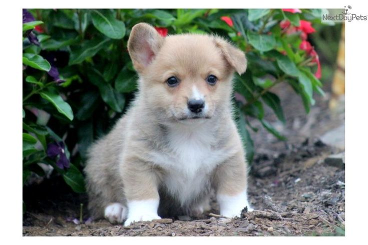 You'll love this Male Welsh Corgi, Pembroke puppy looking for a new home.