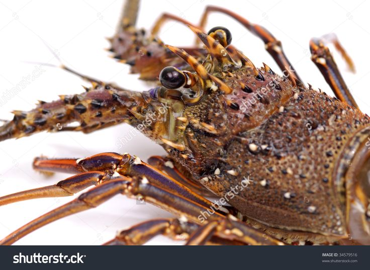 Mejores 26 imágenes de Crustacean en Pinterest | Anatomía, Langostas ...