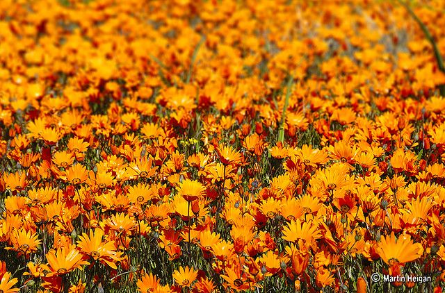 Namaqua Daisies (Dimorphotheca sinuata) are the most abundant wild flower in Namaqualand. Kamieskroon, Namaqualand, Northern Cape,