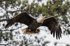 BC Female Bald Eagle 2
