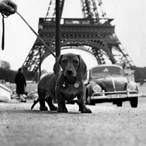 Dachshund in Paris - Eiffel Tower