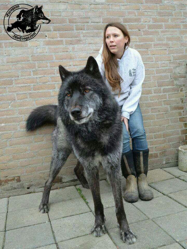 A gorgeous Wolf hybrid if I could bring myself to have a big dog like this I would!!!