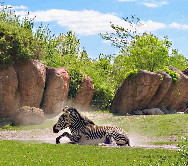 zebra solitude...