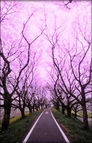 Cherry Blossom Tunnel, Tokyo, Japan