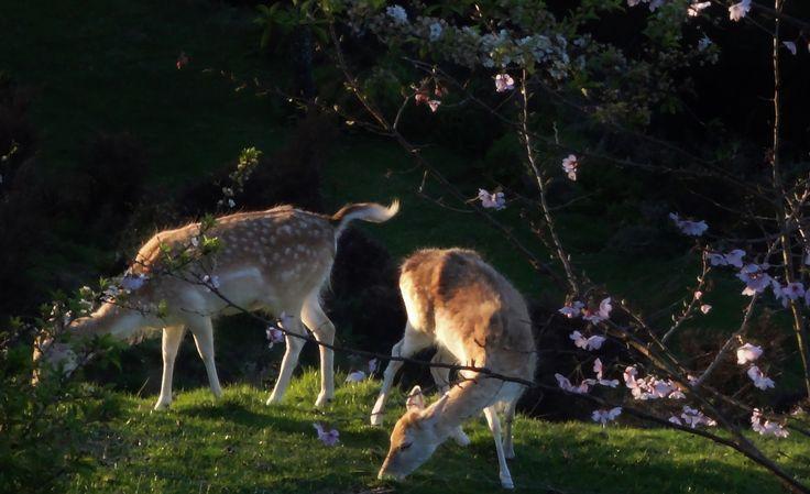 A pair of fellow deer grazing
