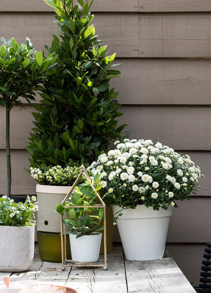 Herbstdeko - Lorbeer * weiße Blumen  Bildnachweis: Pflanzenfreude.de