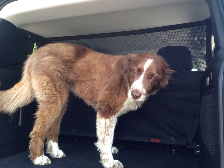 Pepper helping to finish the new Jeep Renegade barrier. #RAINGLERNETS #JEEPLIFE #BORDERCOLLIE #JEEPRENEGADE http://www.raingler.com/#!jeep-merchandise/ch9y