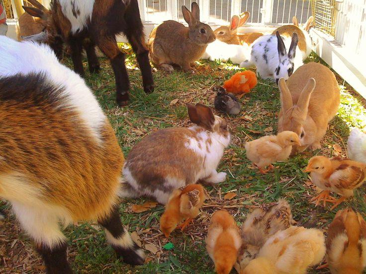 baby animals zoo   PONY RIDES PARTY PETTING ZOO BARNYARD FARM BIRTHDAY ZOO texas PONY